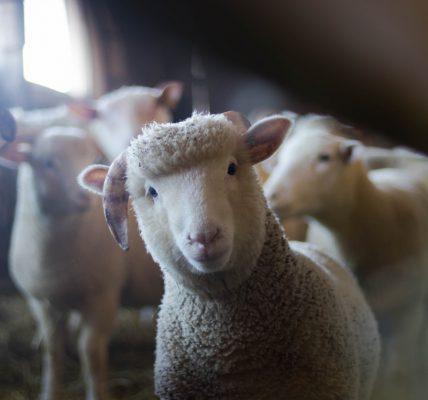 Jak leczyć biegunki u zwierząt hodowlanych